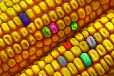 GMO-kukuruz-midi