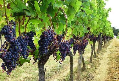 grozde-vino-berba-midi