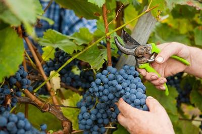 grožđe_berba-proizvodnja-vina-midi