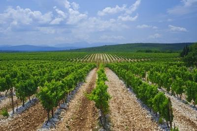 hercegovinavino-kameni-vinogradi-midi