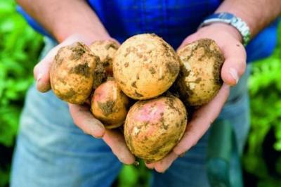 krumpir-medimurje-midi