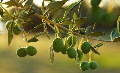 masline-plodovi-midi