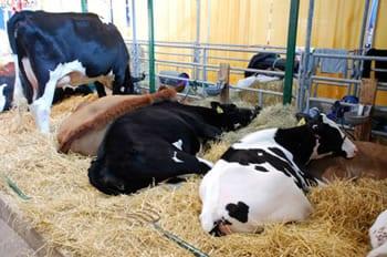 mlijeko-krave-farma-midi