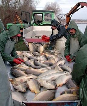 slatkovodna-riba-proizvodnja-midi