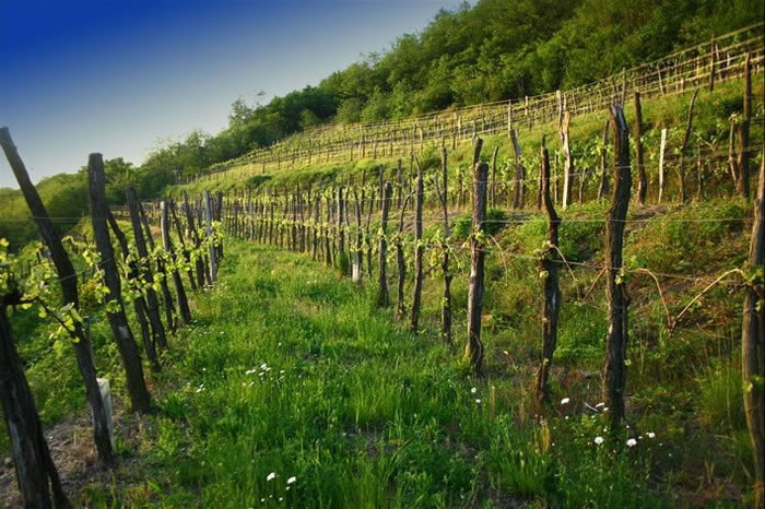 vinograd-large1