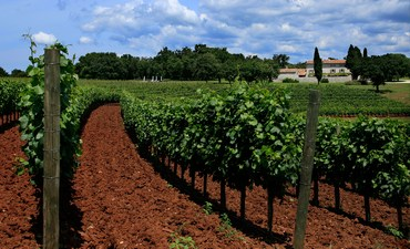 vinogradi-vino-midi